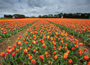 6-stock-photo-68457723-tulip-farm-in-edendale-new-zealand[1]